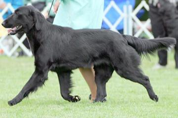 The Bitches of Rockyhill Flat-Coated Retrievers